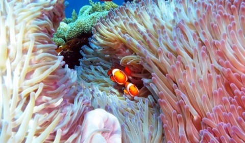 two clownfish in their anemone