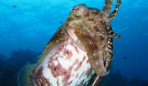 broad club cuttlefish