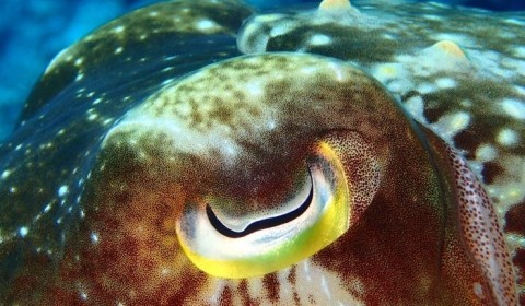 cuttlefish eye