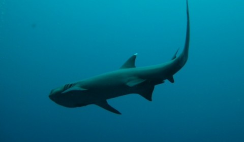 whitetip shark in the blue