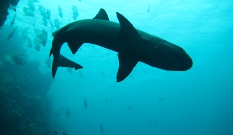 whitetip shark from below