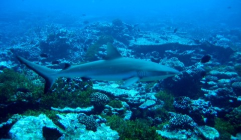 whitetip shark swimming
