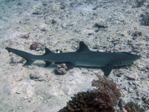 Facts about whitetip reef sharks. All the things you need to know before diving with whitetiip reef sharks.