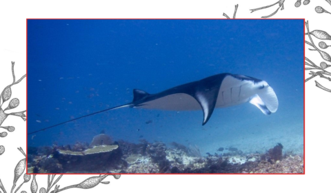 Welcome to the ultimate guide on fascinating facts about mantas.