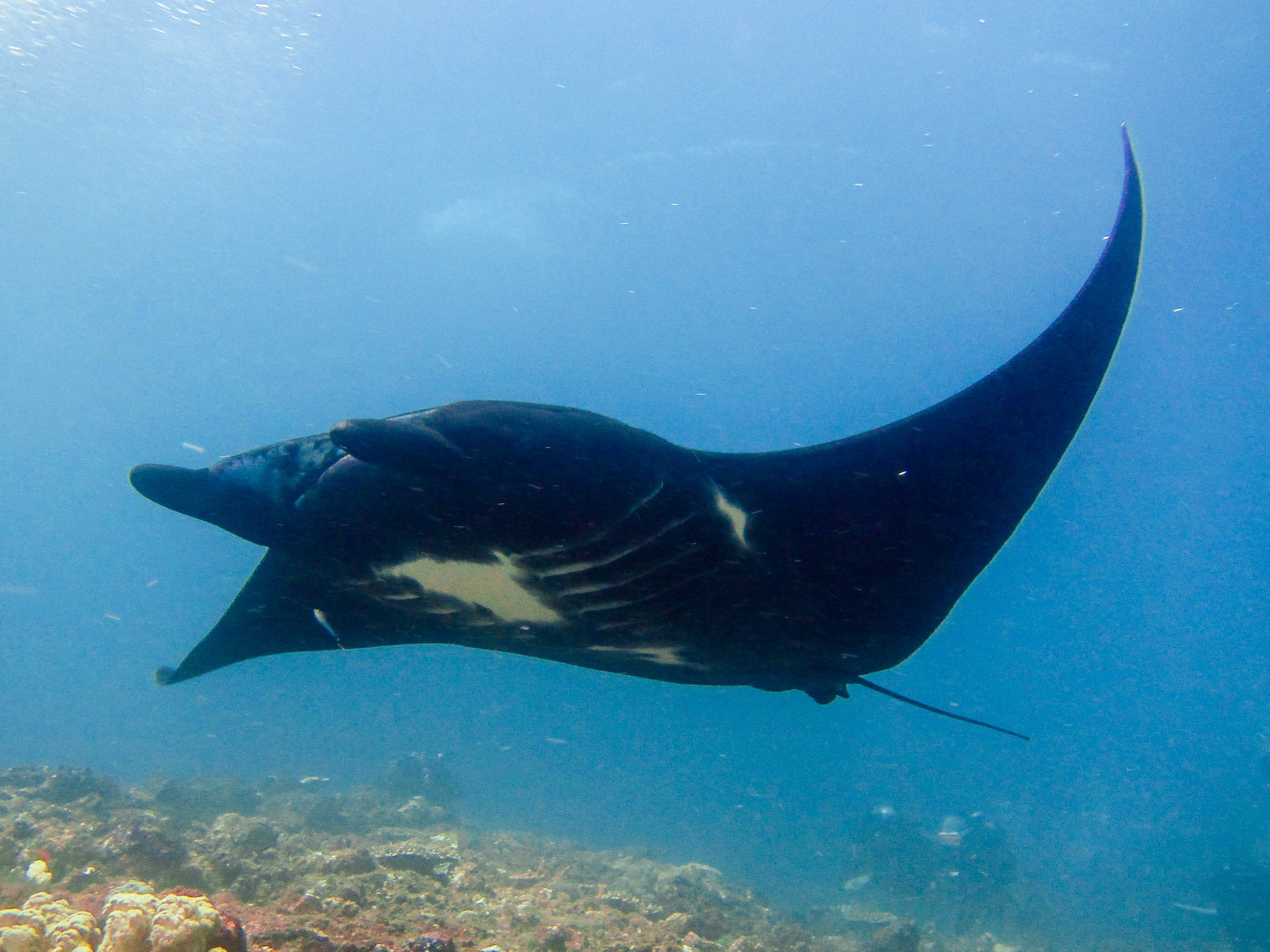 Diving with mantas is something every diver needs to experience. Diving with mantas will take your breath away