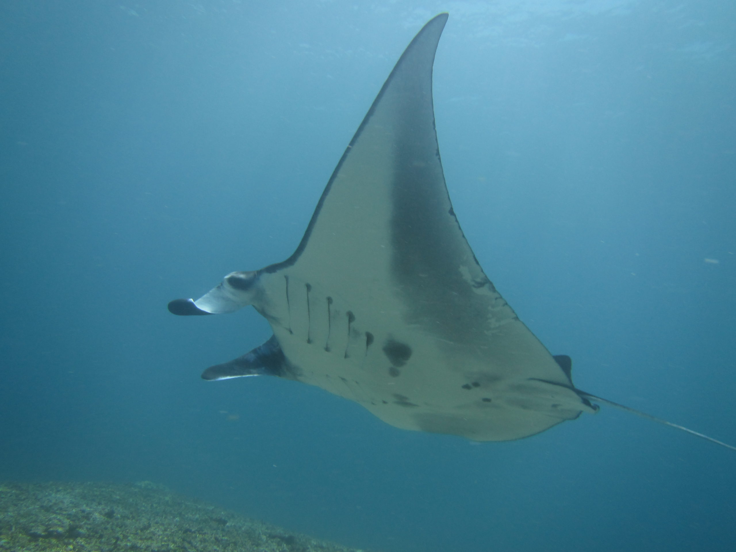 Many mantas are spotted all across Komodo National Park. They are most commonly spotted in Manta Point, Manta Alley, Mawan and Cauldron