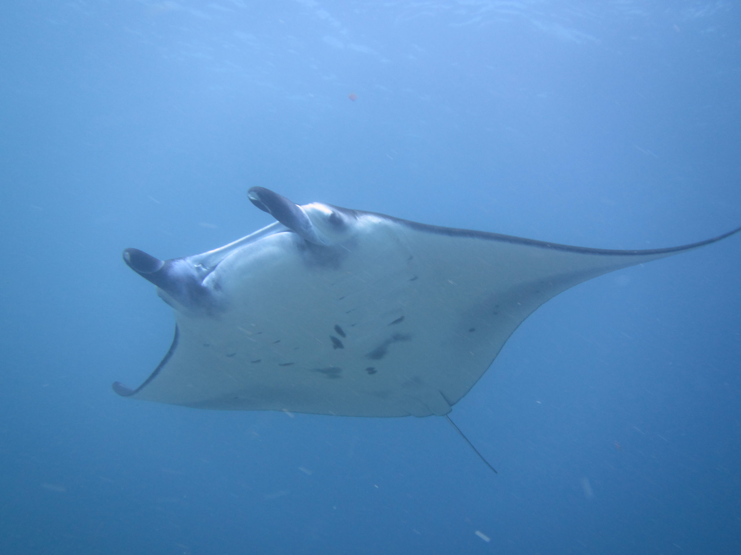 Reef mantas can grow up to 5 meters in length. Oceanic mantas can grow up to 9 meters and weigh up to 2 tonnes.