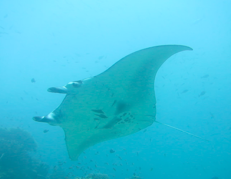 The markings on a manta are unique. It's just like a human fingerprint, not one is the same.