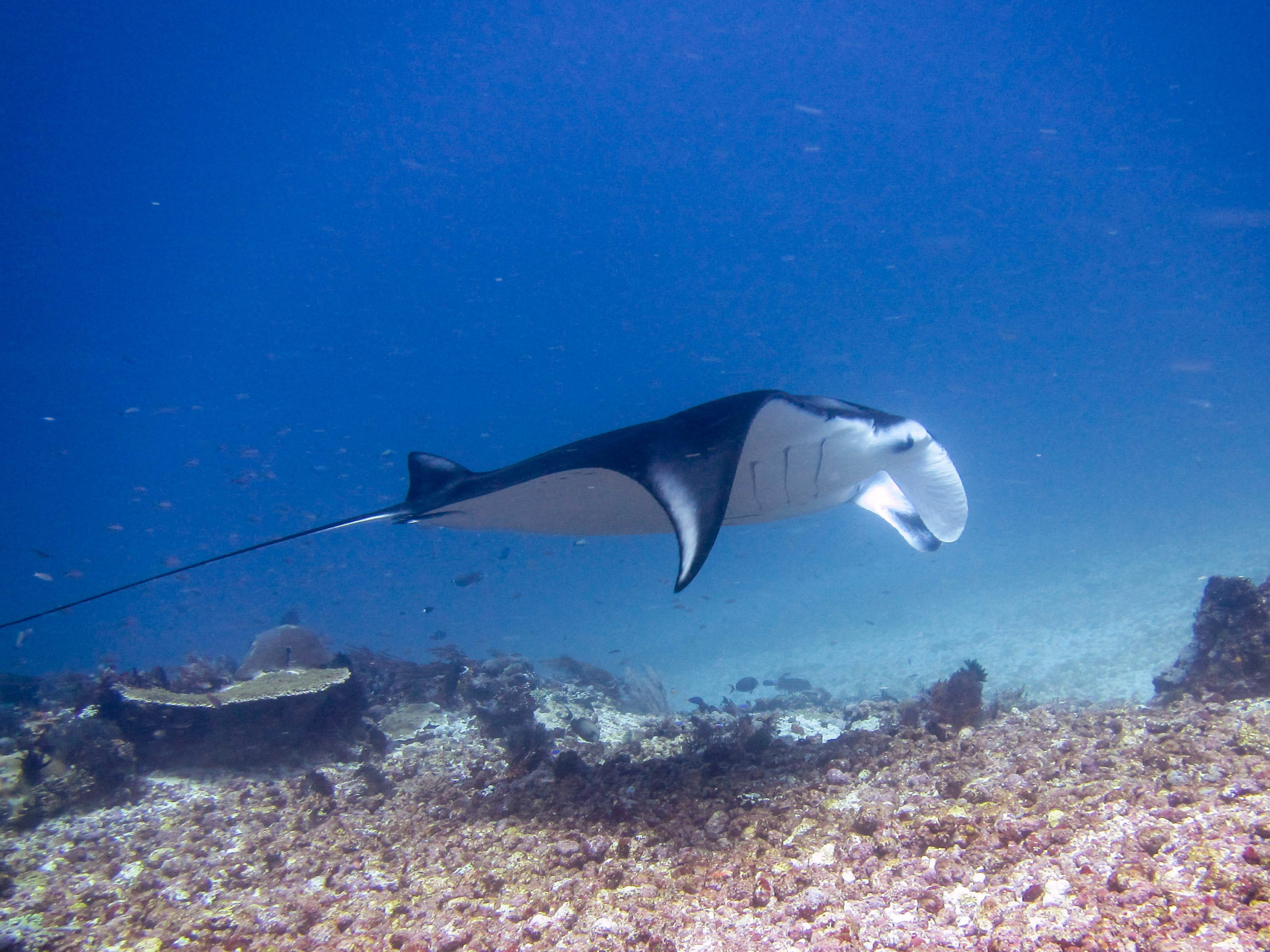 Mantas love a clean as they spend up to 8 hours a day at cleaning stations.