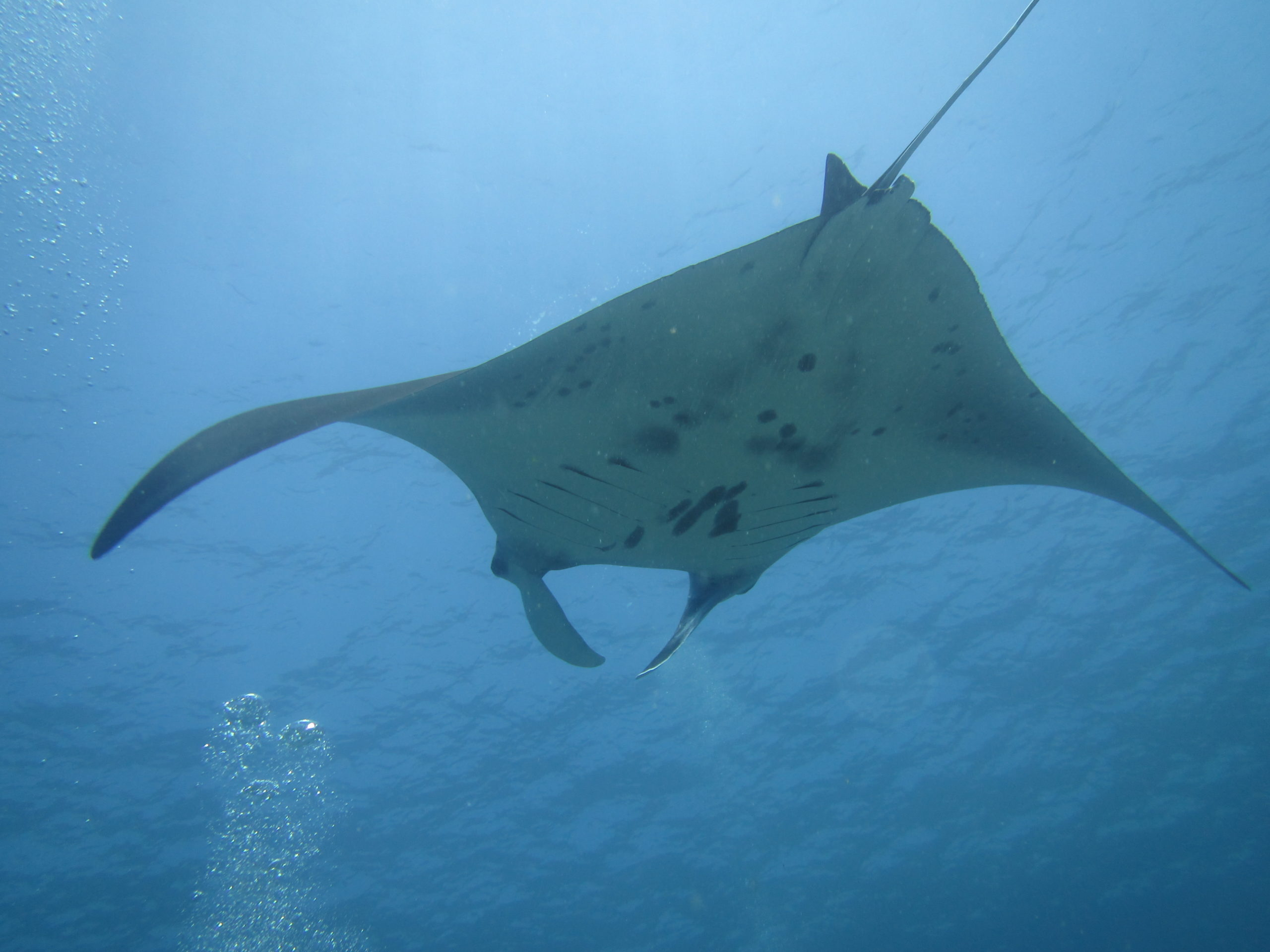 Come and dive with manta rays in Komodo National Park. In Komodo, you can see mantas all year round so you will have a high chance to dive with them any time of year that you visit